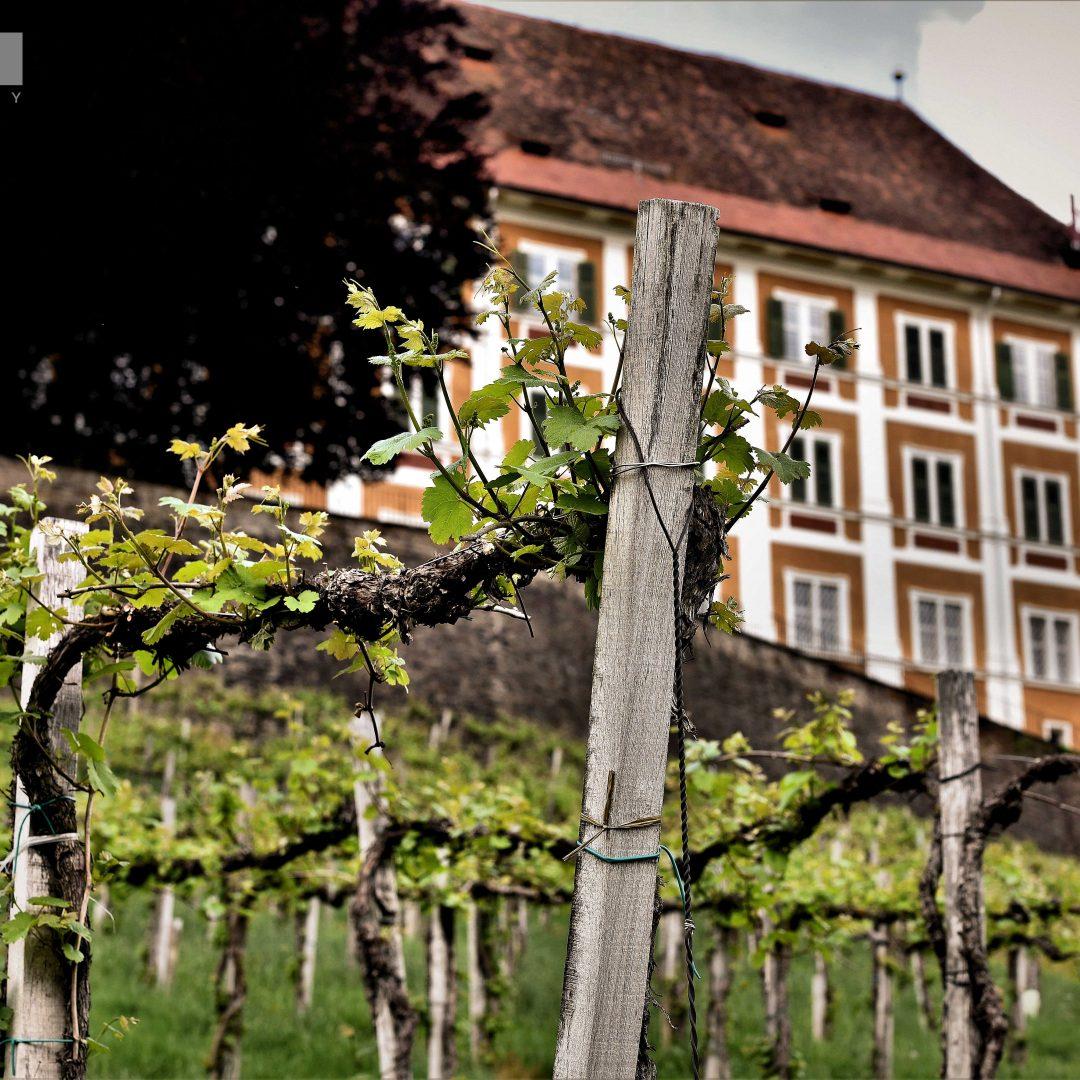 N1_SchlossStainz_Weingarten
